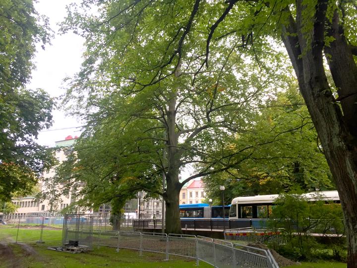 Nu flyttas största trädet inför Västlänkenbygget