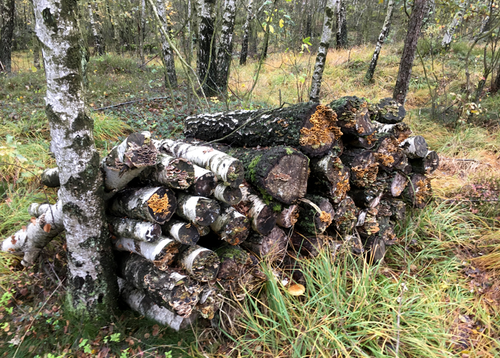Fallna och nedtagna träd en biologisk resurs